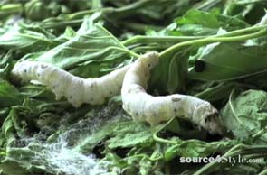What You Didn't Know About Silk Worms